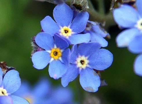 unutmabeni çiçeği anlamı nedir?